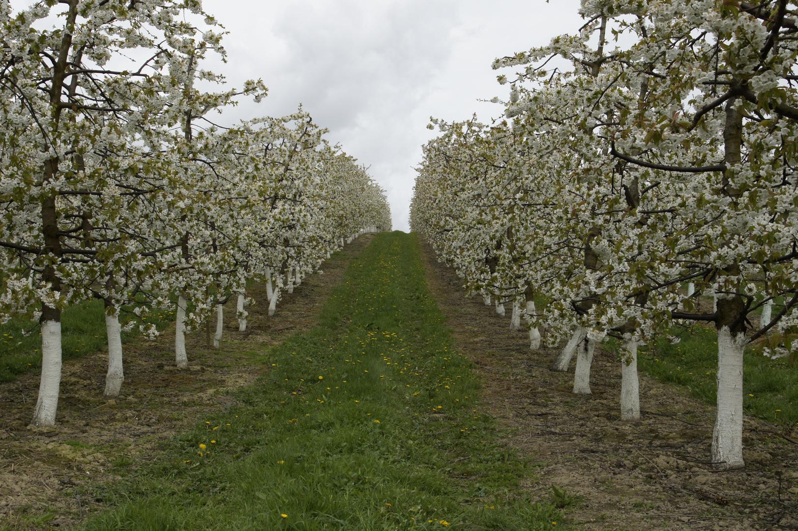 Kirschblüten -Allee