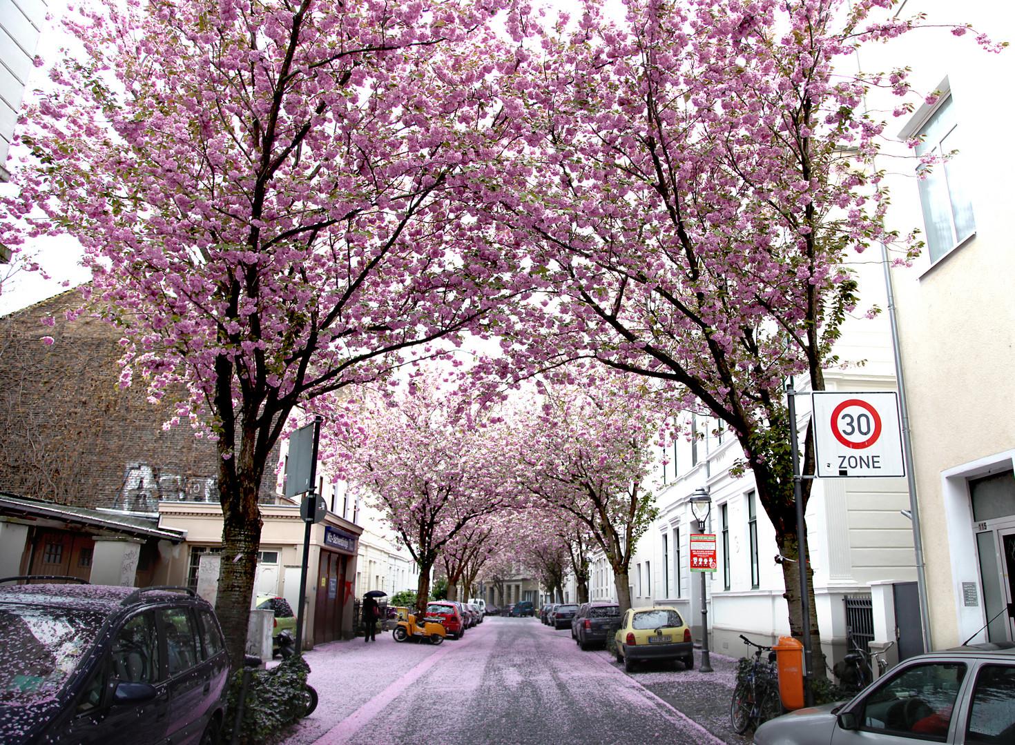 Kirschblüten-Allee in der Altstadt
