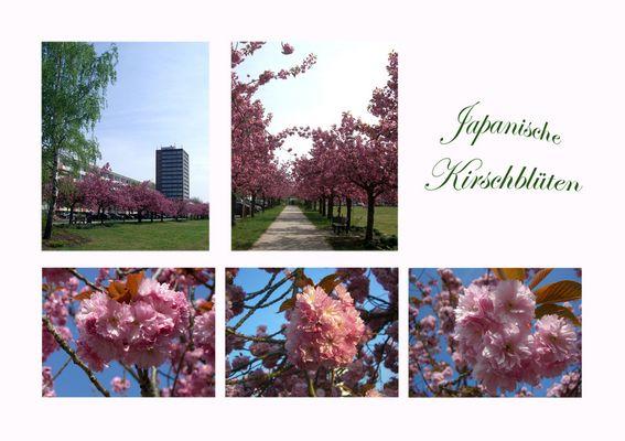 Kirschblüten-Allee in Frankfurt (Oder)-Nord