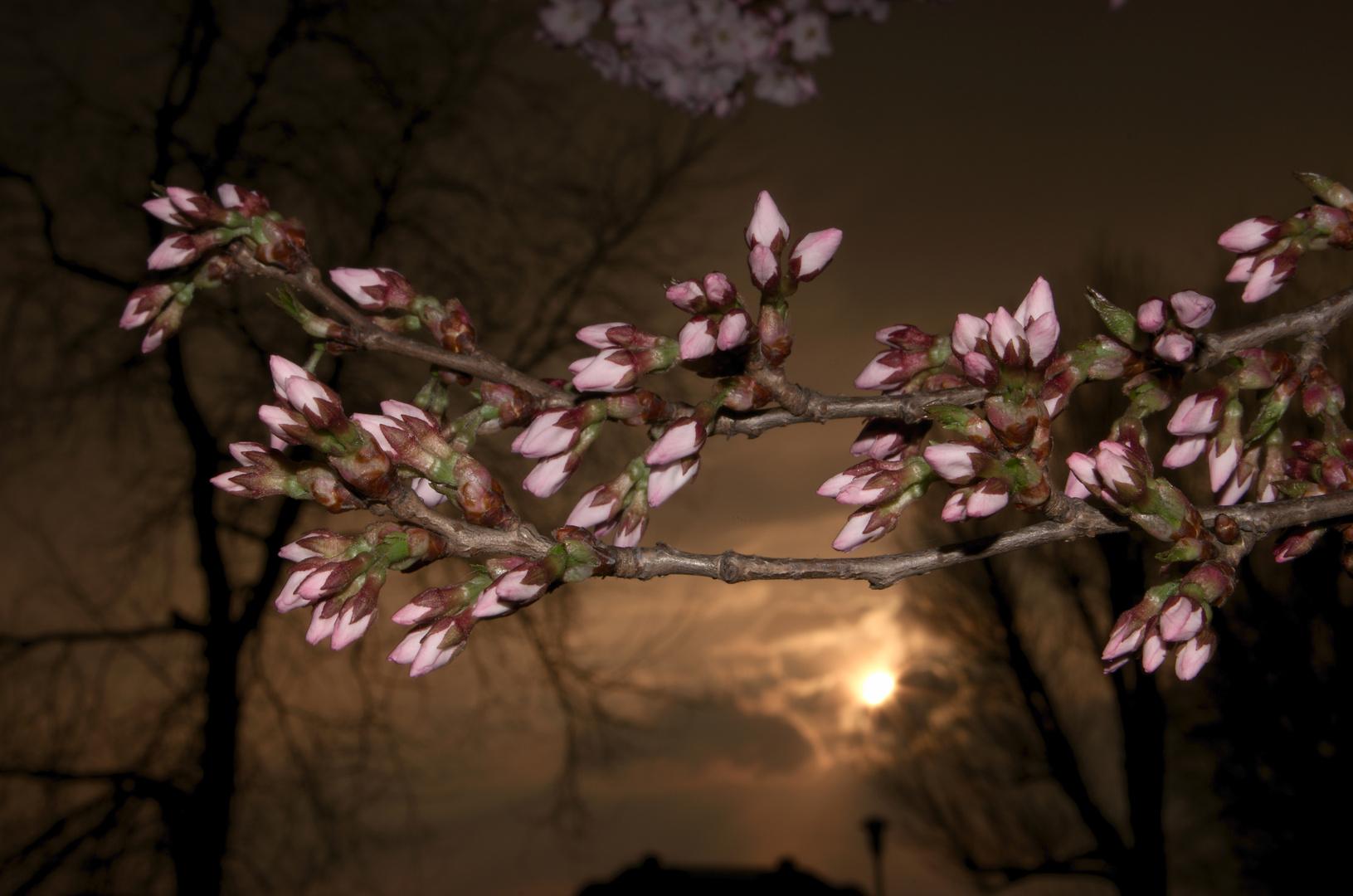 Kirschblüten am Abend II