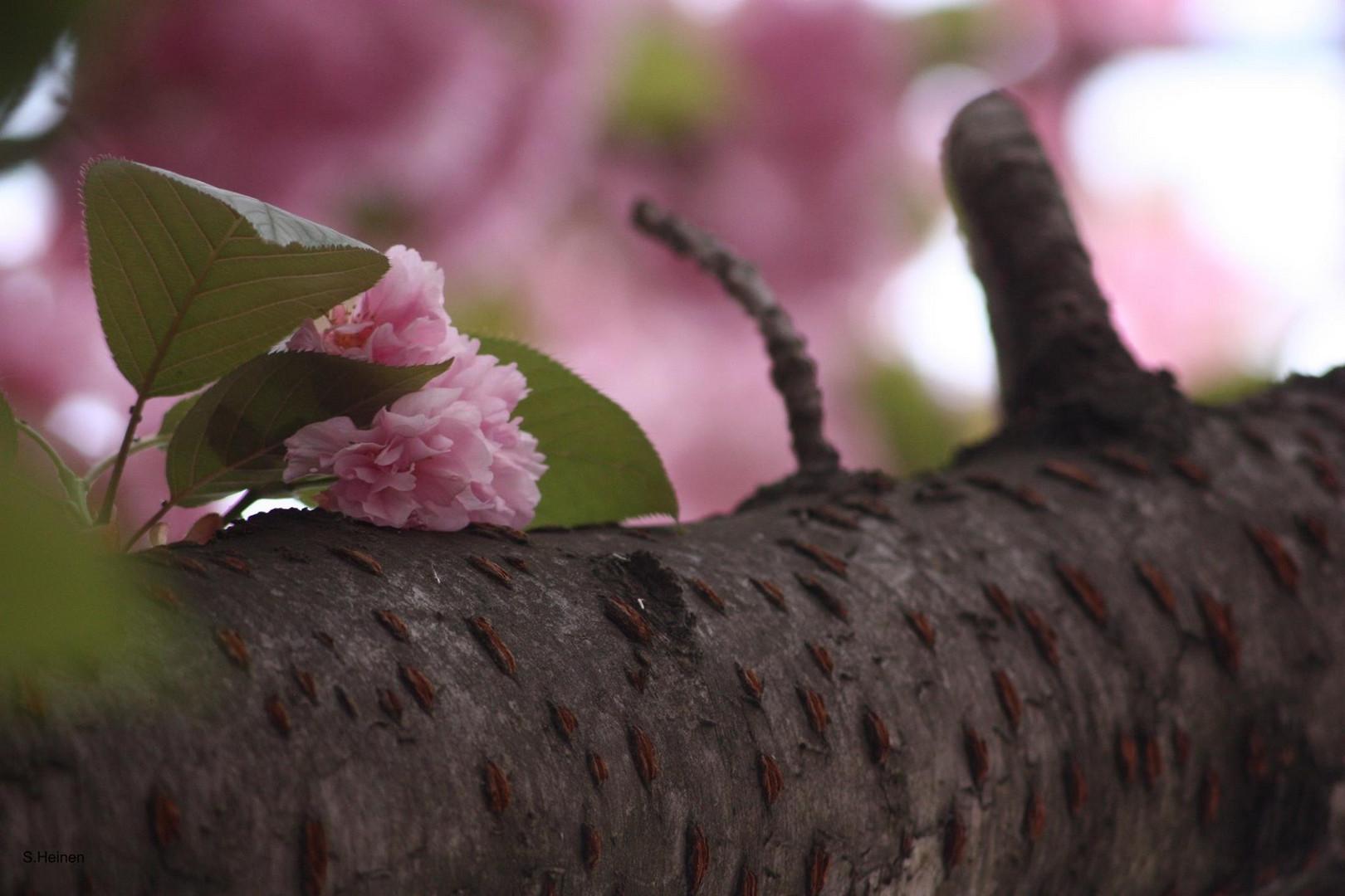 Kirschblüten am Baum2