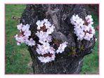 Kirschblüten am Baumstamm