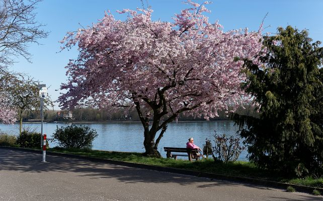 Kirschblüten am Eltviller Rheinufer (1)