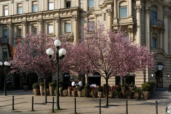 Kirschblüten am Nassauer Hof am 13. März 2014