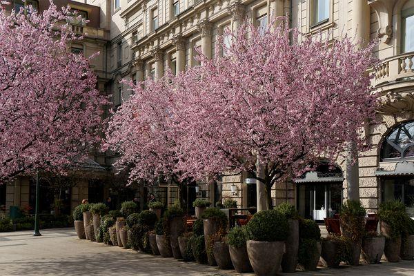 Kirschblüten am Nassauer Hof am 16. März 2014