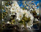 Kirschblüten bei Mamma`s Garten :)