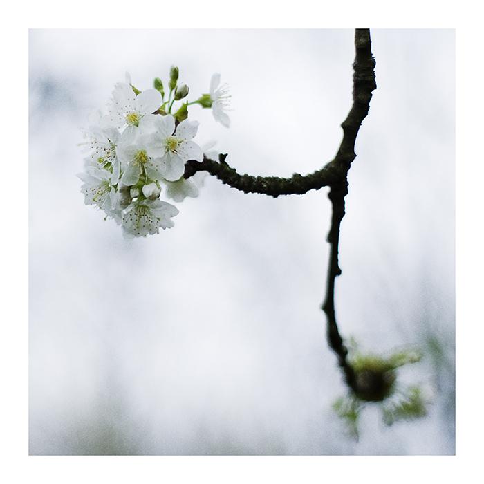 kirschblüten..