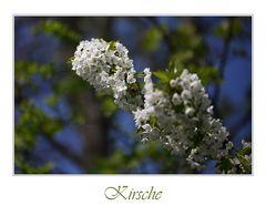 Kirschblüten...