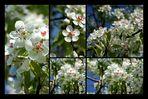 Kirschblüten Details