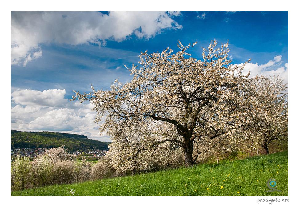 – Kirschblüten ~
