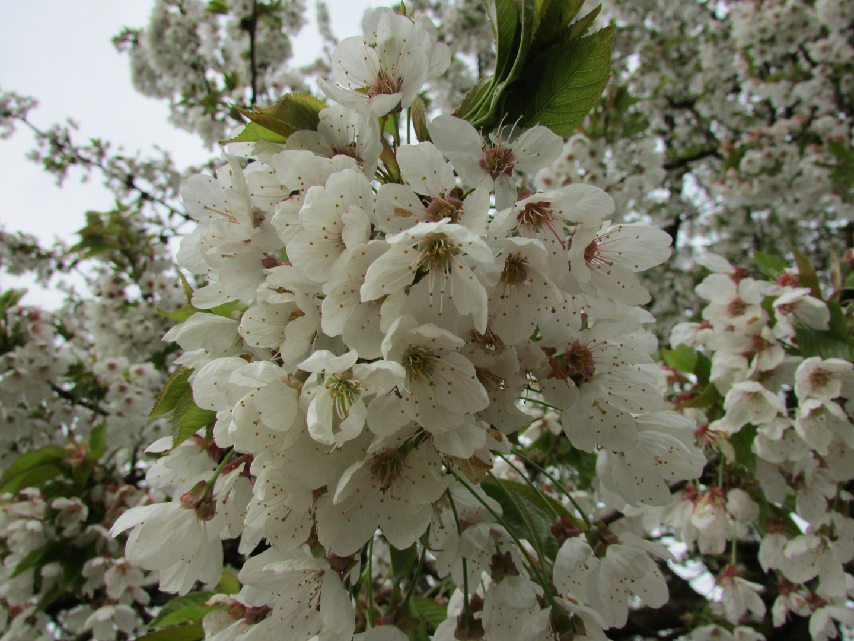Kirschblüten die jetzt schon bald Kirschen sind ;-)