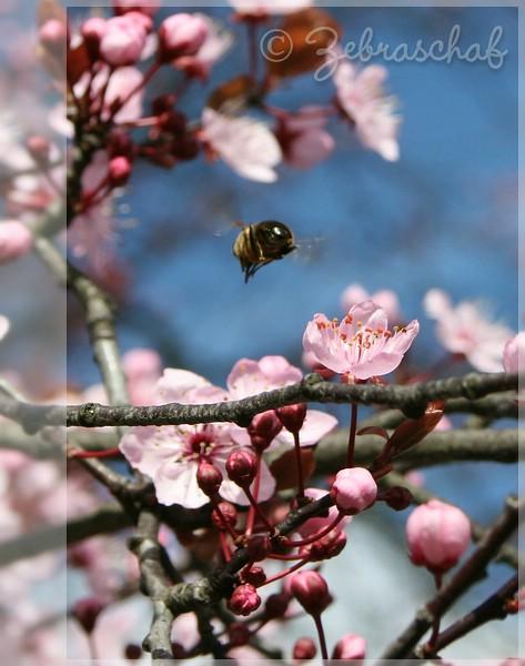 Kirschblüten... eines der ersten Bilder mit der EOS