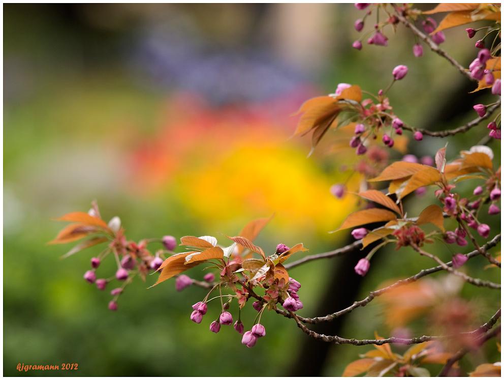 kirschblüten II....