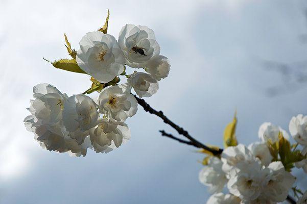 Kirschblüten III