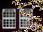kirschblüten III.....