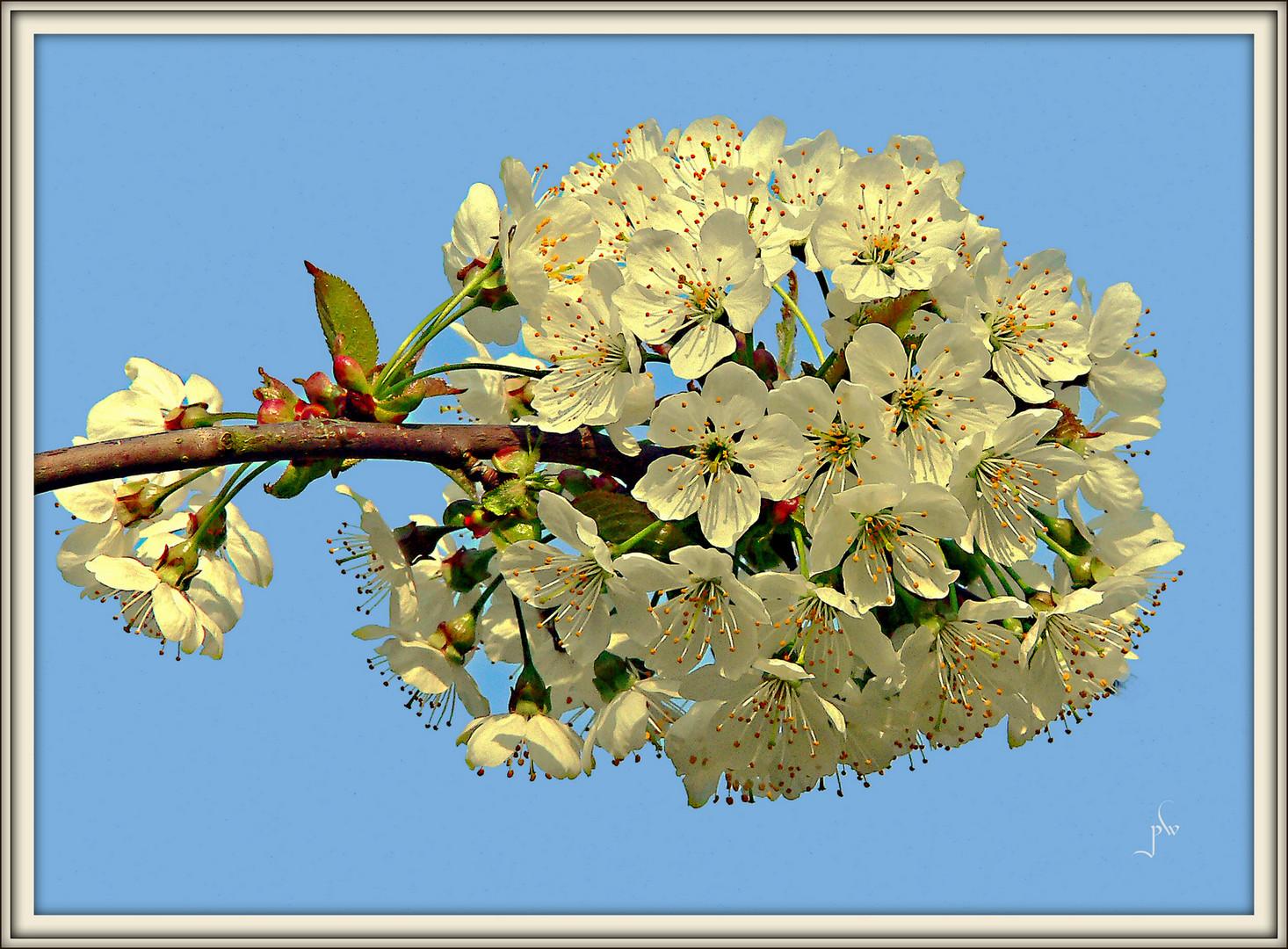 Kirschblüten im Abendlicht