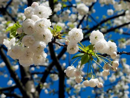Kirschblüten im April