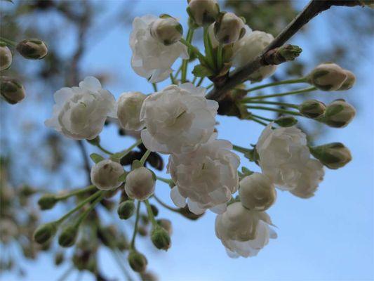 Kirschblüten im Frühlingserwachen