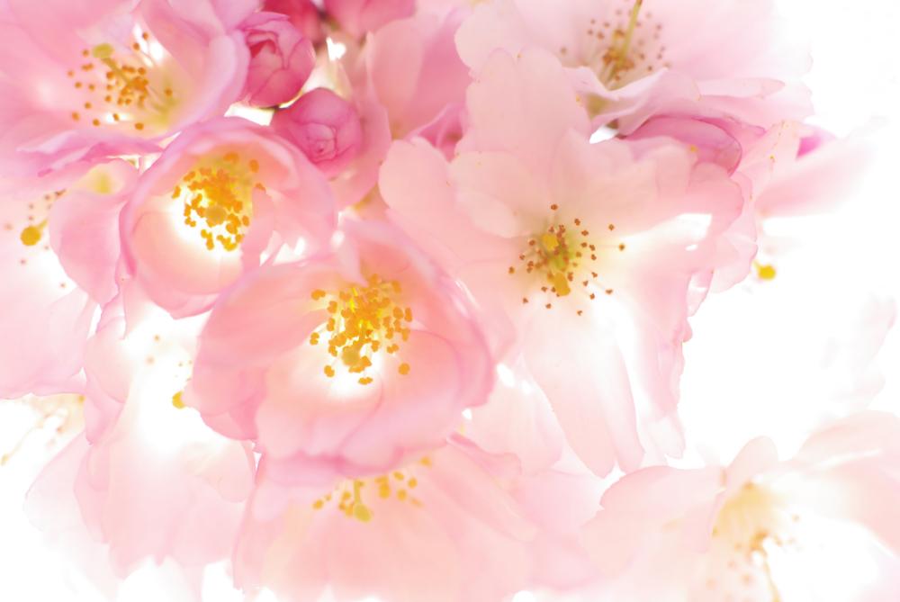 Kirschblüten im Gegenlicht