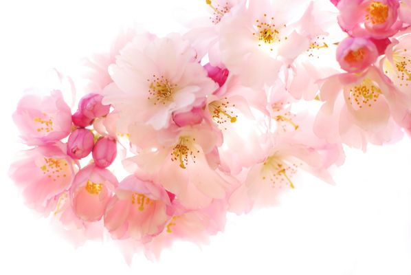 Kirschblüten im Gegenlicht ...