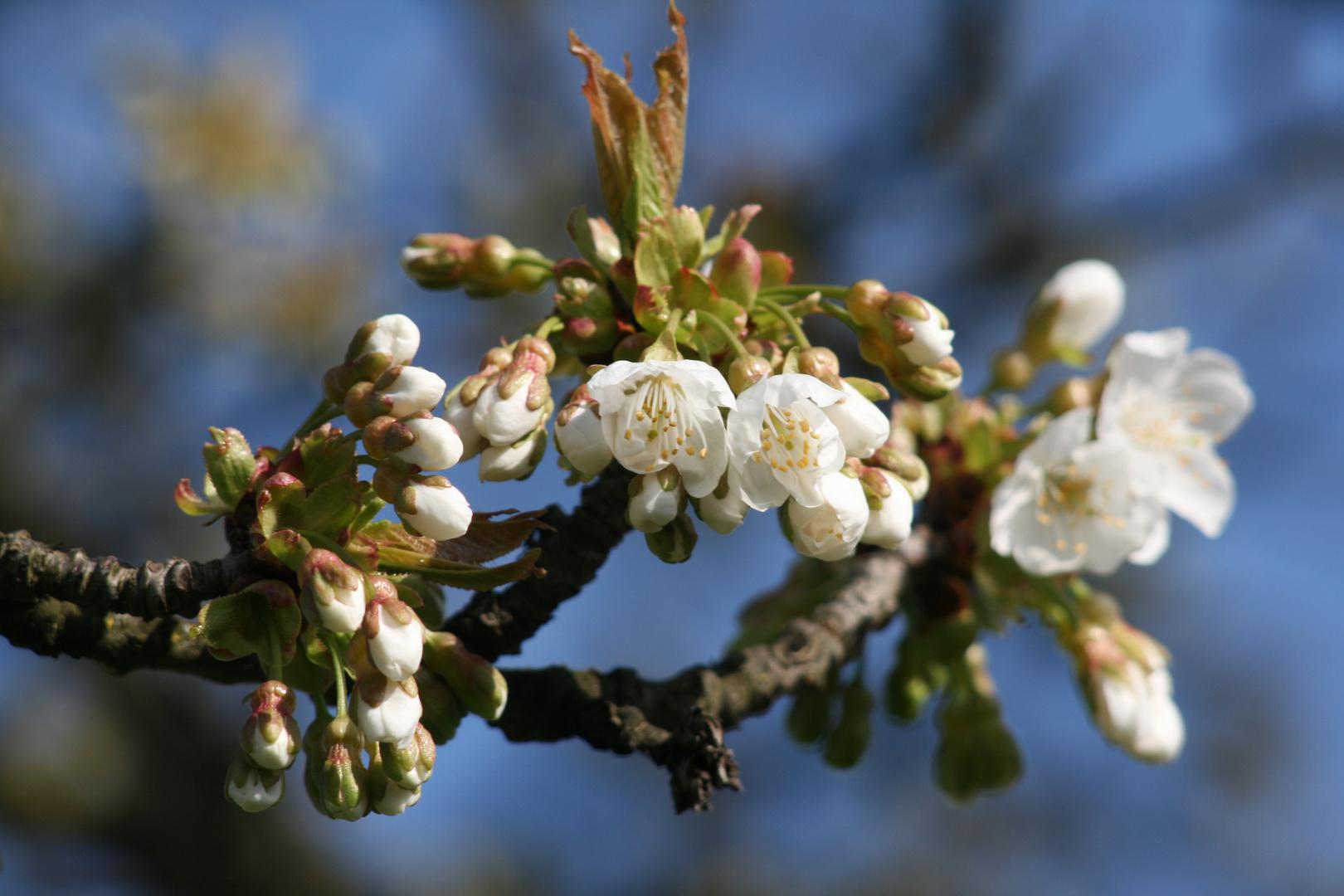 kirschblüten im Markgräflerland