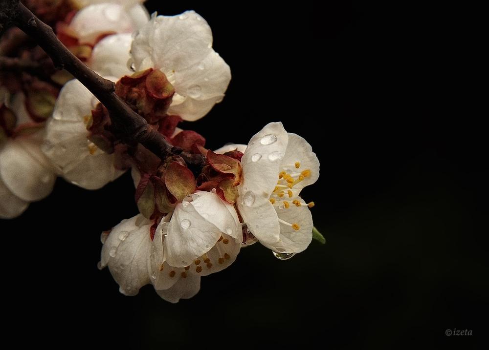kirschblüten im regen