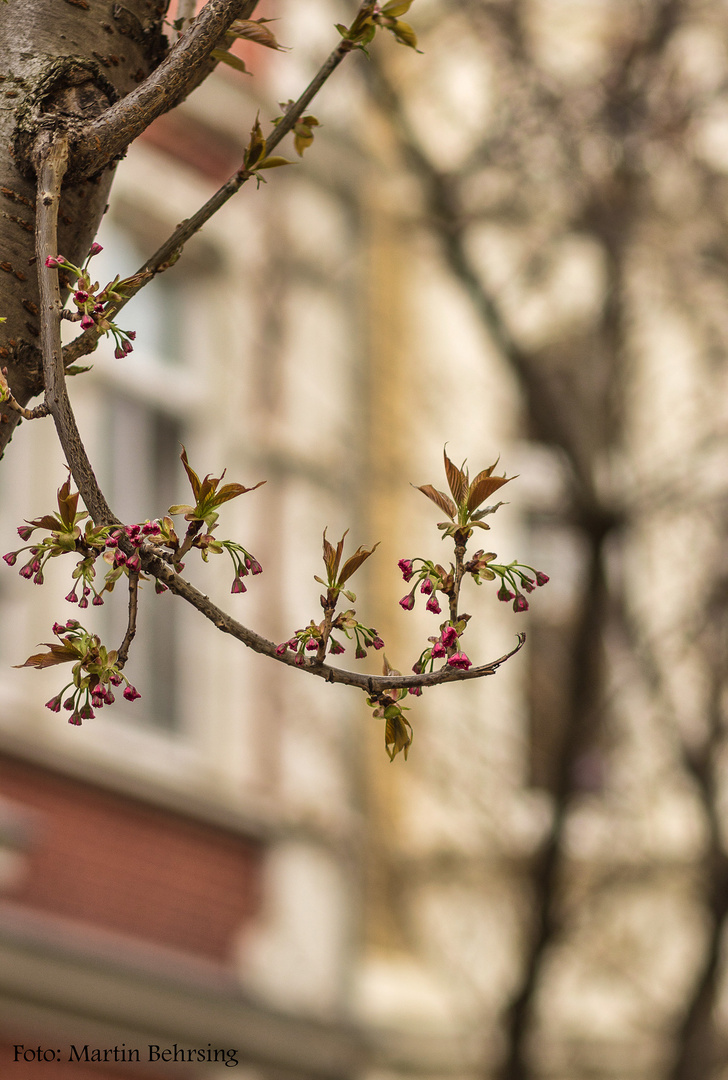 Kirschblüten in der Bonner Altstadt (I)