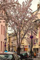 Kirschblüten in der Bonner Altstadt (II)