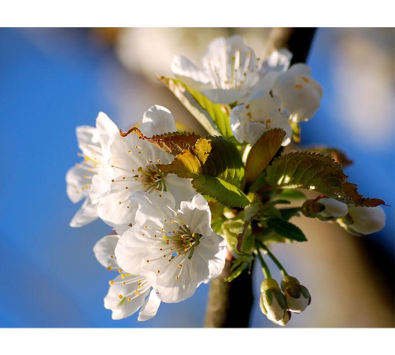 Kirschblüten in ihrer vollen Pracht