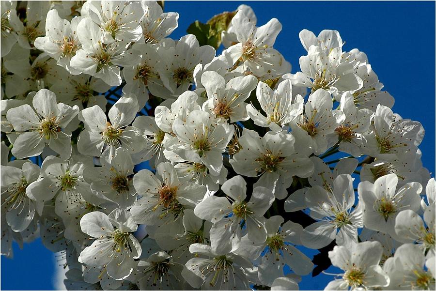Kirschblüten in Nachars Garten