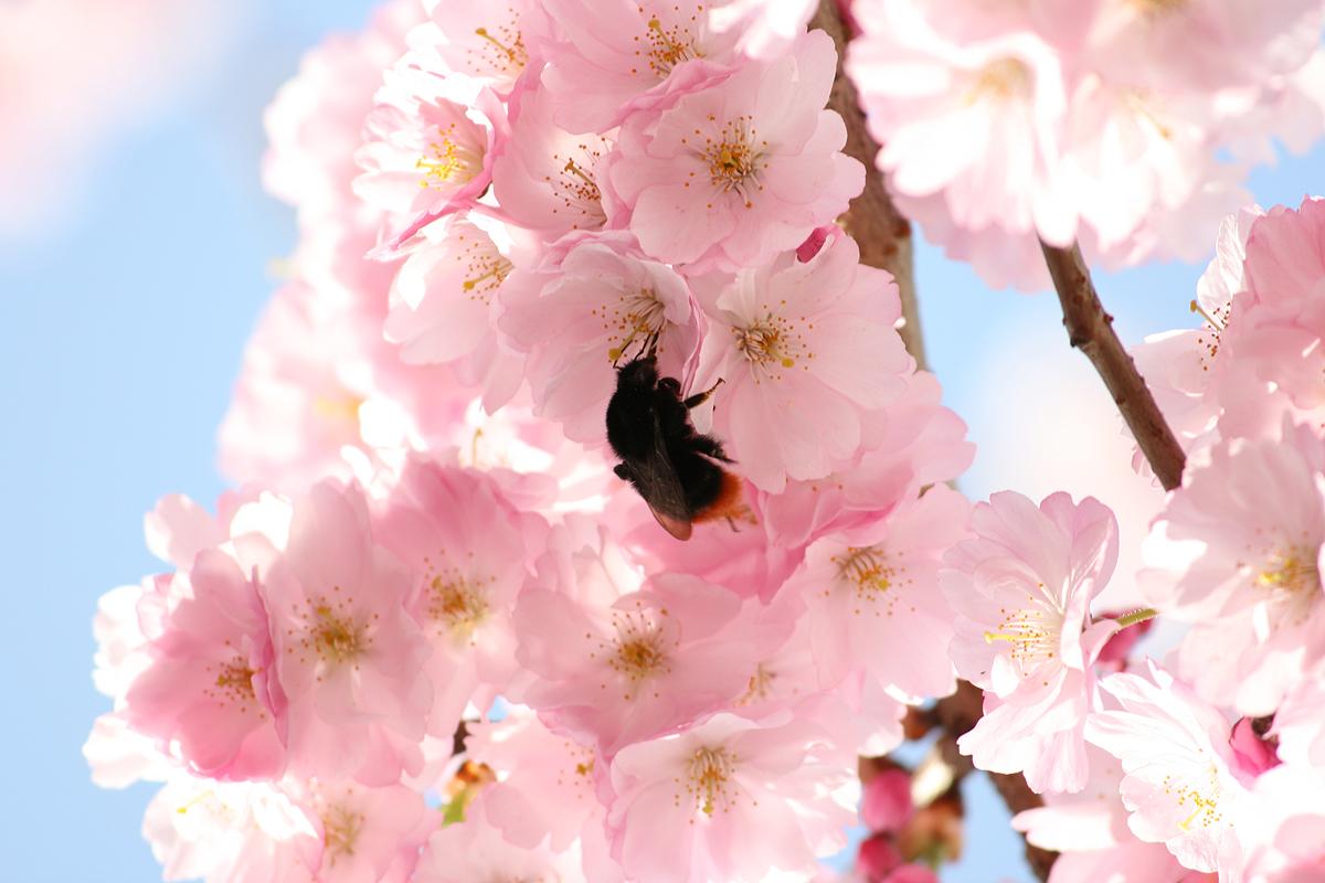 Kirschblüten mit Hummel