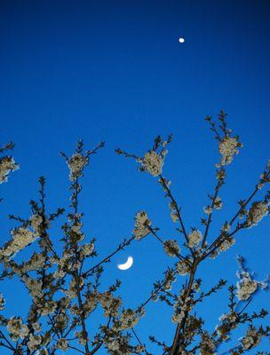 Kirschblüten mit Mond