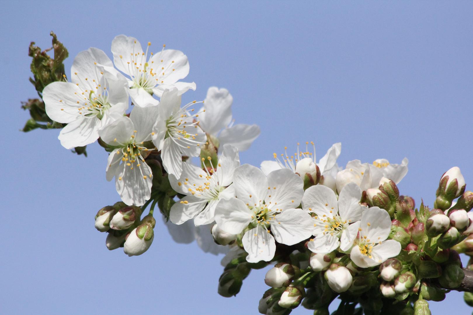 Kirschblüten vom 4.4.2014 aus meinem Garten