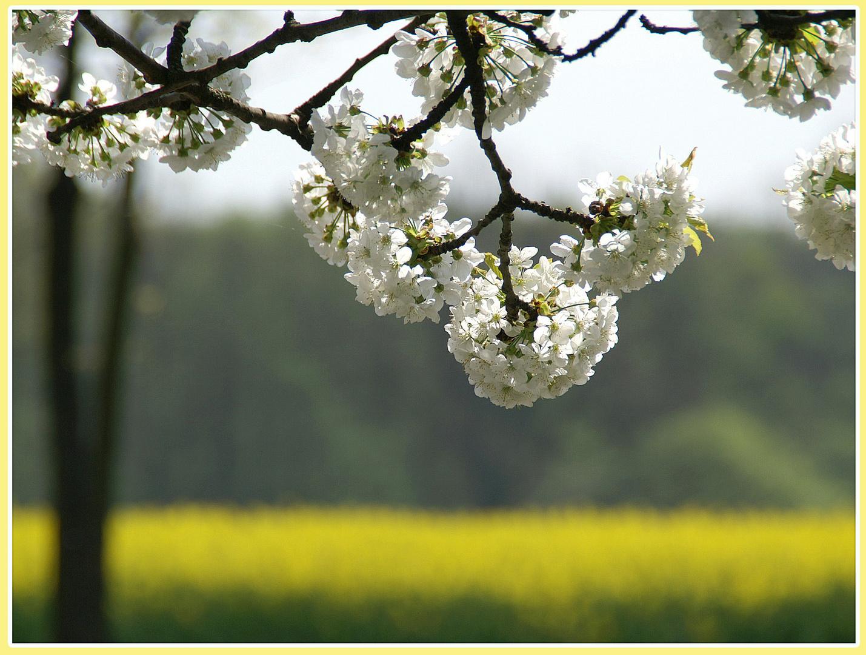 Kirschblüten vor Rapsfeld