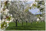 Kirschblütenballett