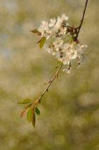 Kirschblütenfest 2