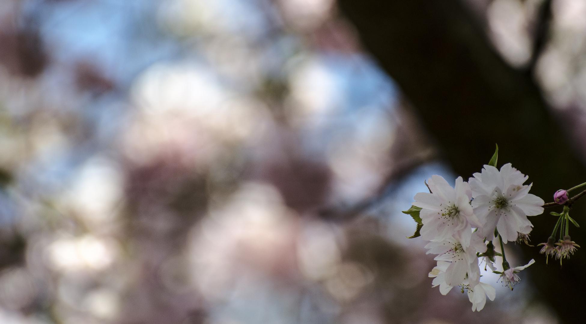 Kirschblütenfest