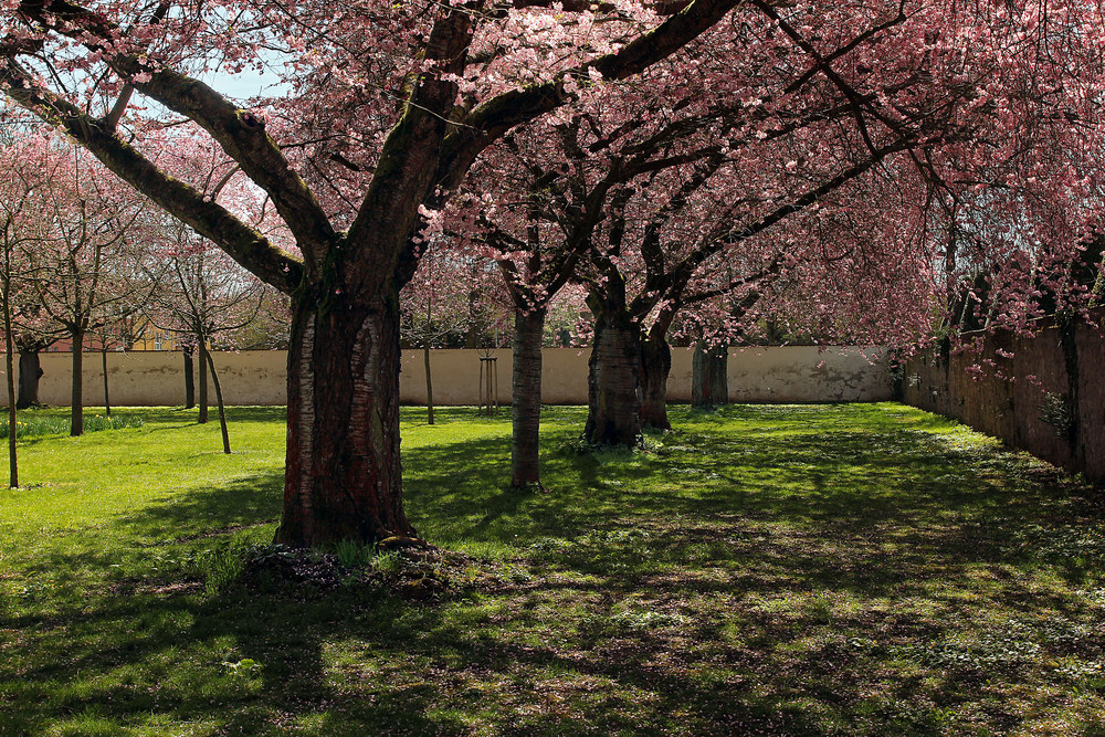 Kirschblütennachschlag