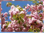 Kirschblütenpracht