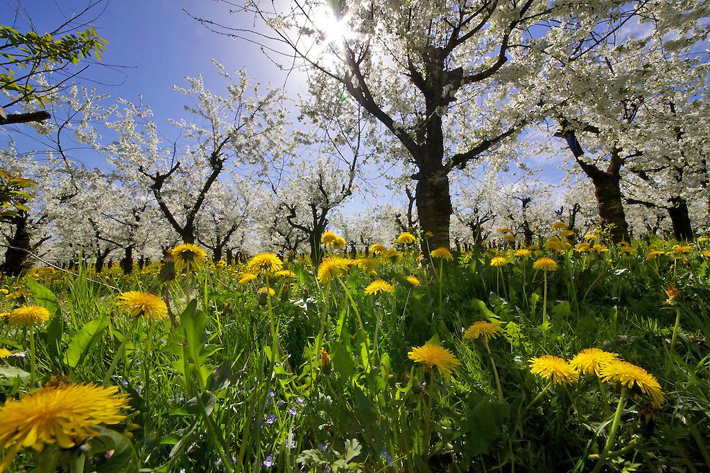 Kirschblütenpracht in Blumenwiese