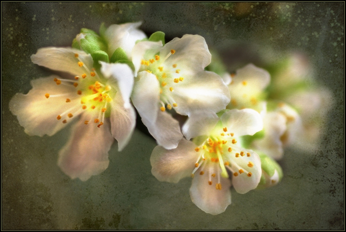 Kirschblütenträume