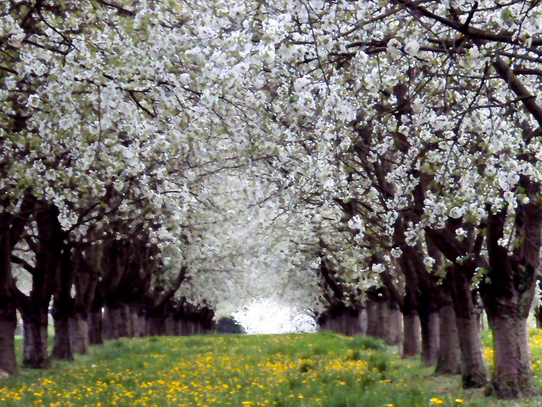 Kirschblütentunnel-Aquarell
