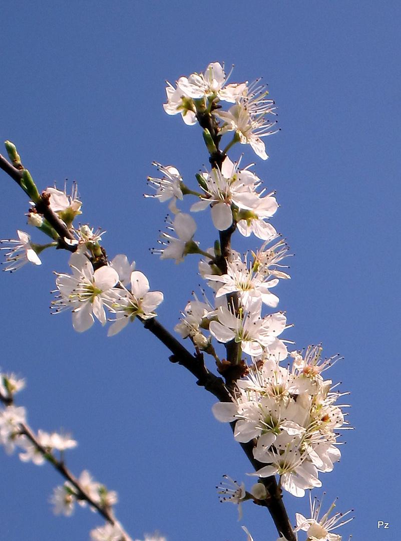Kirschblütenzweig im Sonnenlicht ...