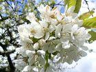Kirschblute