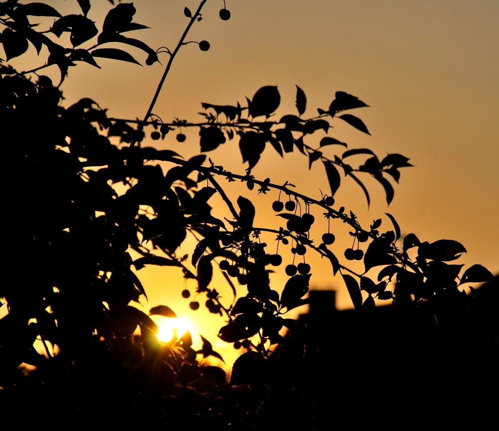 Kirschen im Sonnenuntergang