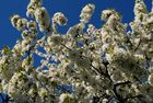 Kirschen vor blauem Himmel