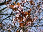 Kirschenblütenblattbild