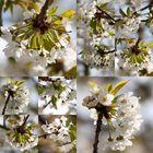 Kirschenblütenzeit