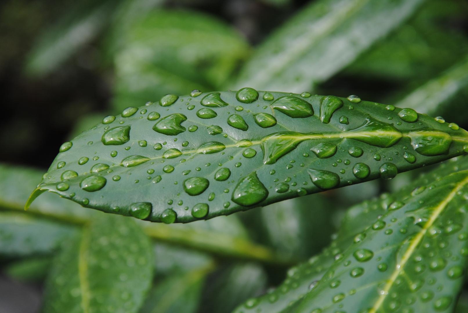 Kirschlorbeer im Regen