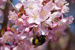 Kirschzblüte